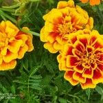 Tagetes patula Flower