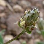 Plantago amplexicaulis