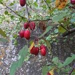 Cotoneaster zabelii
