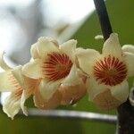 Acropogon paagoumenensis
