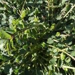Poterium sanguisorba Leaf