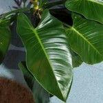 Philodendron quinquenervium