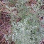 Artemisia austriaca