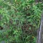 Cyperus prolixus