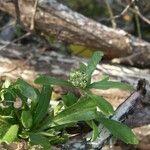 Lepidium bidentatum