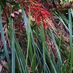 Carex dispalata