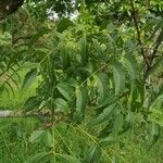 Azadirachta indica Blatt