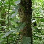 Philodendron sulcatum