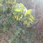 Cerinthe minor