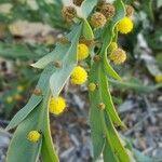Acacia glaucoptera