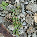 Chenopodium polyspermum