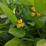 Scorpiurus muricatus Flower
