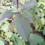 Ocimum tenuiflorum Blatt