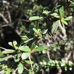 Gymnosporia polyacanthus