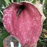 Helicodiceros