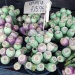 Opuntia megacantha