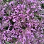 Thymus longiflorus