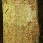 Protium apiculatum