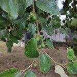 Ziziphus mauritiana List