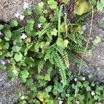 Asplenium trichomanes Leaf