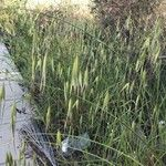 Calamagrostis villosa