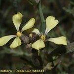 Euzomodendron bourgeanum