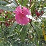 Nerium oleander Kukka