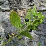 Atropa belladonna Owoc