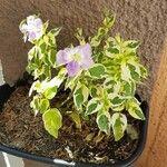 Asystasia gangetica Flower