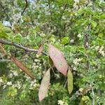 Acacia mellifera 果実
