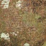 Licania densiflora