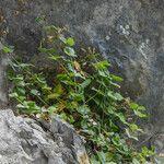 Petrocoptis pyrenaica