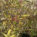 Sambucus nigra Lorea
