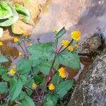 Acmella paniculata