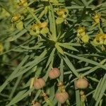Euphorbia broussonetii