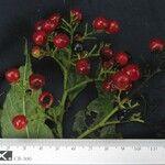 Pleuropetalum sprucei