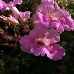 Bignoniaceae