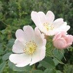 Rosa tomentosa