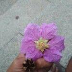 Lagerstroemia speciosa Kvet