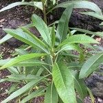 Cheirolophus arbutifolius