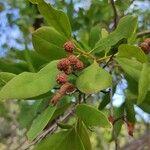Conocarpus erectus Fruit