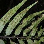 Asplenium juglandifolium