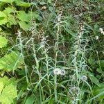 Gnaphalium sylvaticum