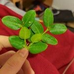 Trachelospermum jasminoides Blad