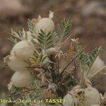 Astragalus clusianus