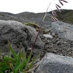 Bromus lanatus