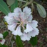 Rhododendron coriaceum