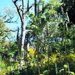 Agastache scrophulariifolia