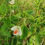 Hibiscus flavifolius