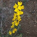 Crotalaria laburnifolia